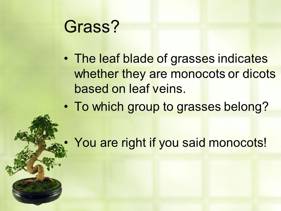 Grass? The leaf blade of grasses indicates whether they are monocots or dicots based on leaf veins. To which group to grasses belong? You are right if