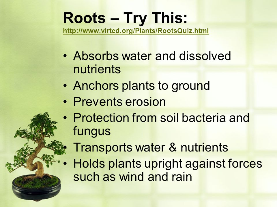Roots – Try This: http://www.virted.org/Plants/RootsQuiz.html http://www.virted.org/Plants/RootsQuiz.html Absorbs water and dissolved nutrients Anchor