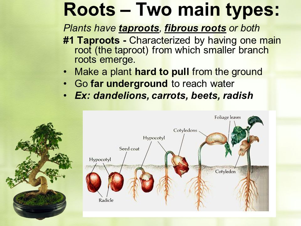 Roots – Two main types: Plants have taproots, fibrous roots or both #1 Taproots - Characterized by having one main root (the taproot) from which small