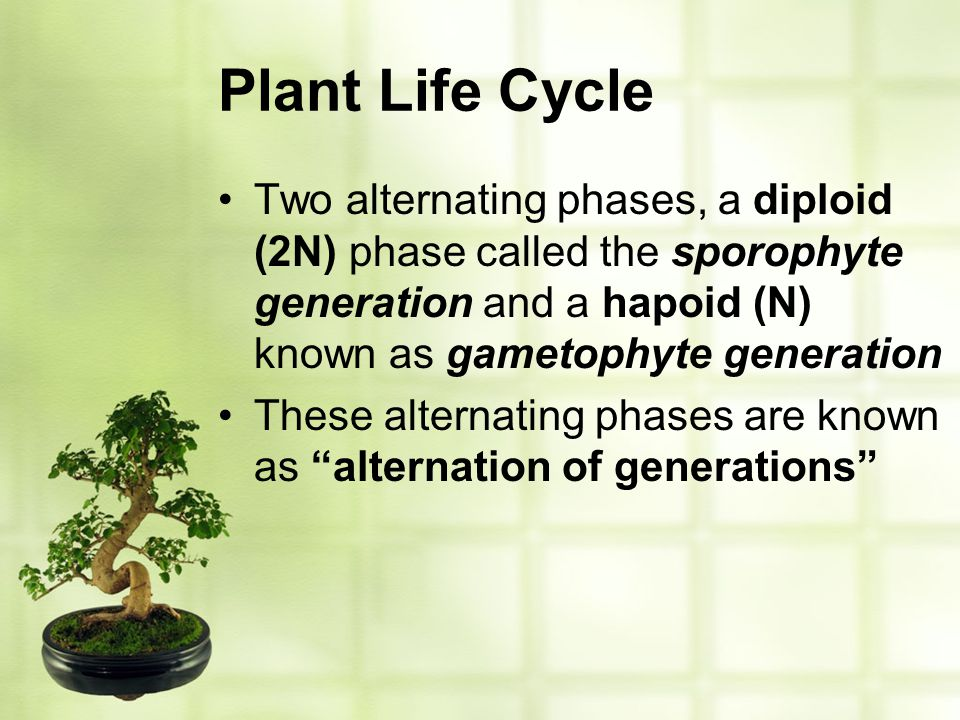 Plant Life Cycle Two alternating phases, a diploid (2N) phase called the sporophyte generation and a hapoid (N) known as gametophyte generation These
