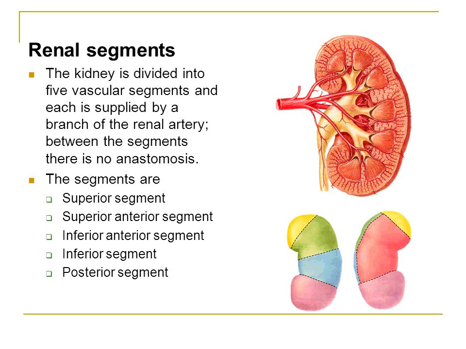 Renal segments The kidney is divided into five vascular segments and each is supplied by a branch of the renal artery; between the segments there is n