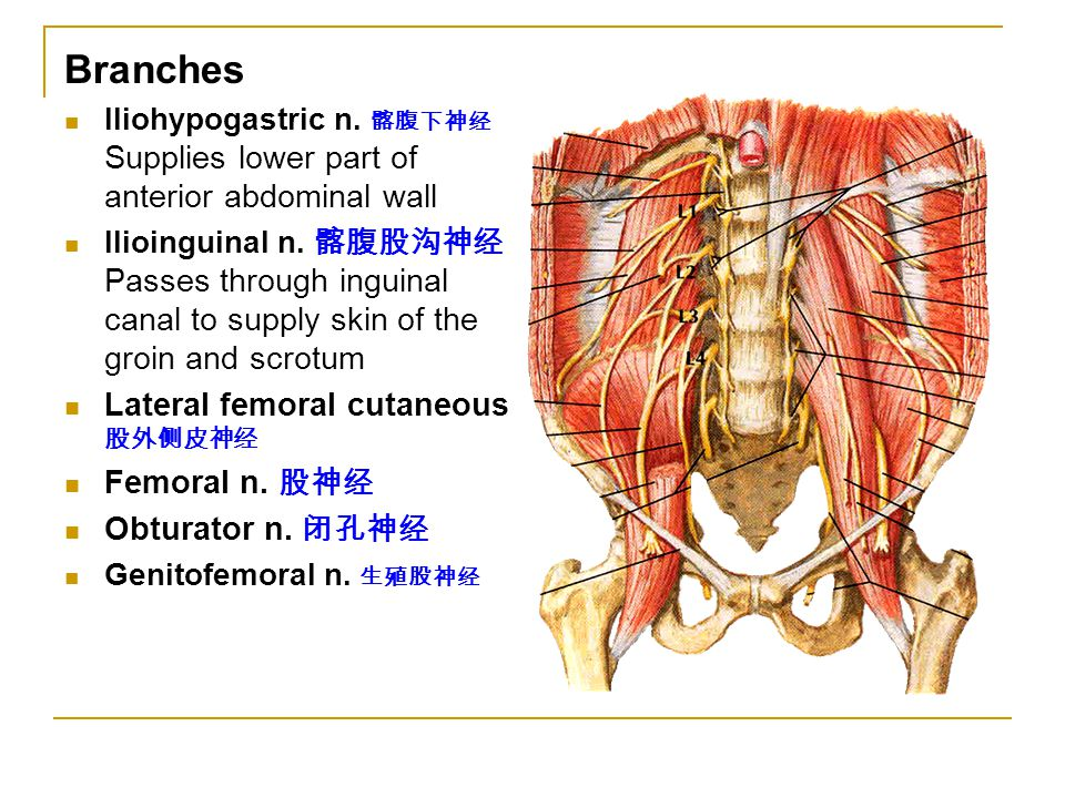Branches Iliohypogastric n. 髂腹下神经 Supplies lower part of anterior abdominal wall Ilioinguinal n. 髂腹股沟神经 Passes through inguinal canal to supply skin o