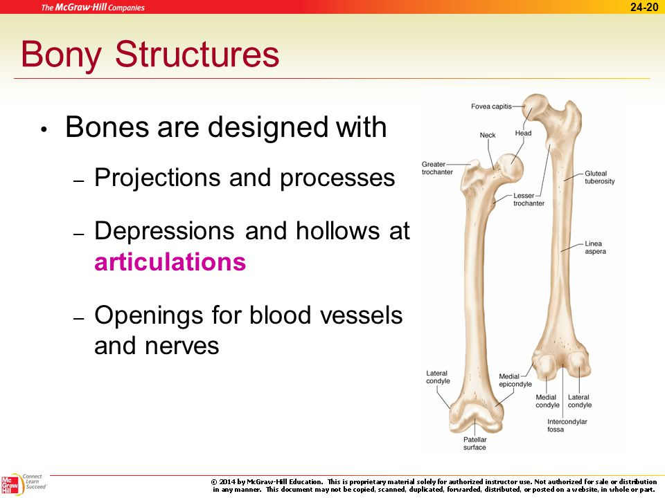 24-19 Apply Your Knowledge What are the two types of bone growth.