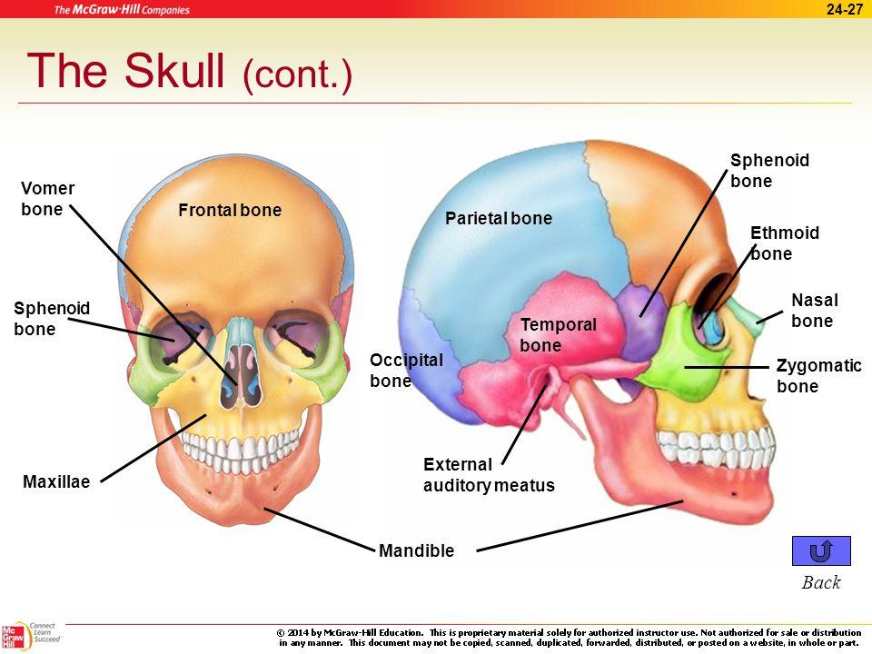 24-26 The Skull (cont.) Facial bones –Mandible ~ lower jaw –Maxillae ~ upper jaw –Zygomatic Cheekbones Fused nasal bones form bridge of nose –Palatine ~ hard palate –Vomer ~ divides nasal cavity Click to see Skull