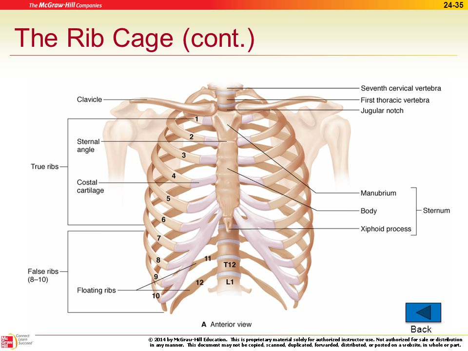 24-34 The Rib Cage (cont.) Ribs –All are attached posteriorly to thoracic vertebrae –True – 1 st 7 pairs –False – pairs 8, 9, and 10 –Floating – pairs To ribcage