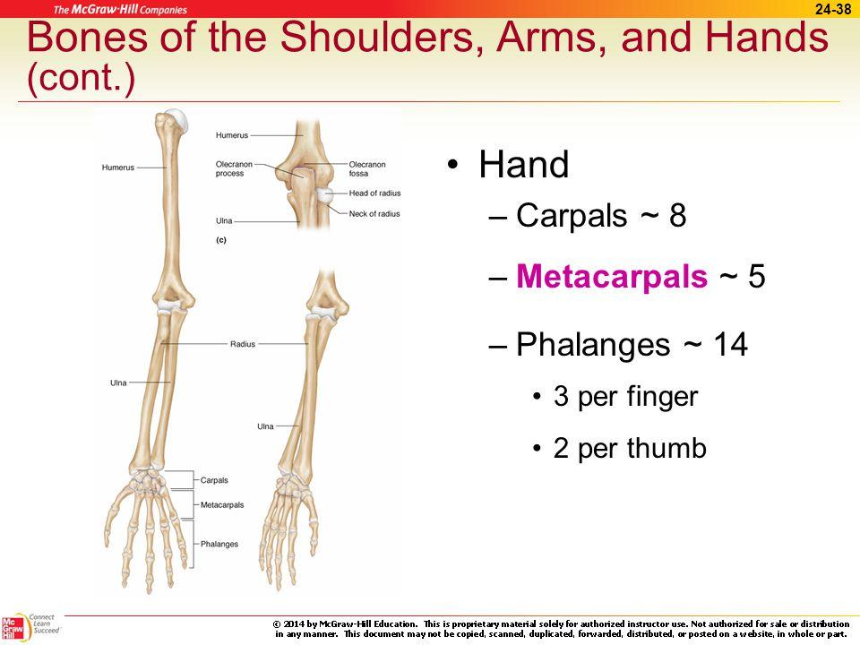 24-37 Bones of the Shoulders, Arms, and Hands Shoulders –Clavicles ~ collar bones –Scapulae ~ shoulder blade Arm bones –Humerus –Radius –Ulna