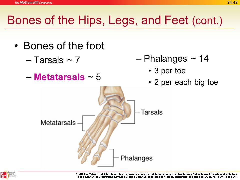 24-41 Bones of the Hips, Legs, and Feet (cont.) Bones of leg –Femur –Patella –Tibia –Fibula