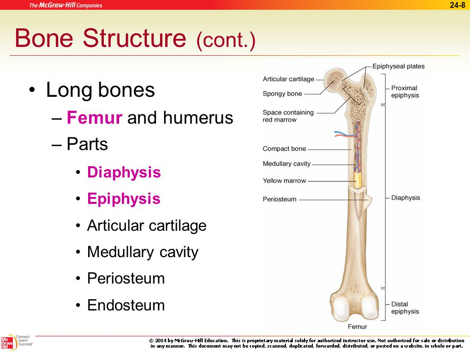 24-7 Bone Structure (cont.) Structures within compact bone – Osteons – Bone matrix – Lamella – Lacunae – Canaliculi All bones are made up of both compact and spongy bone