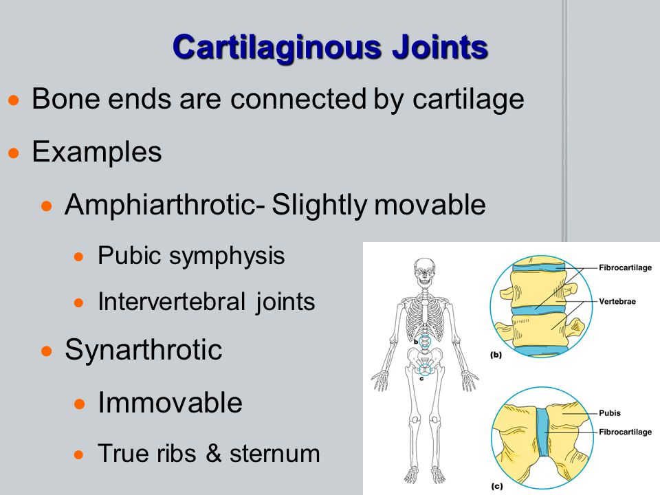 Cartilaginous Joints  Bone ends are connected by cartilage  Examples  Amphiarthrotic- Slightly movable  Pubic symphysis  Intervertebral joints 