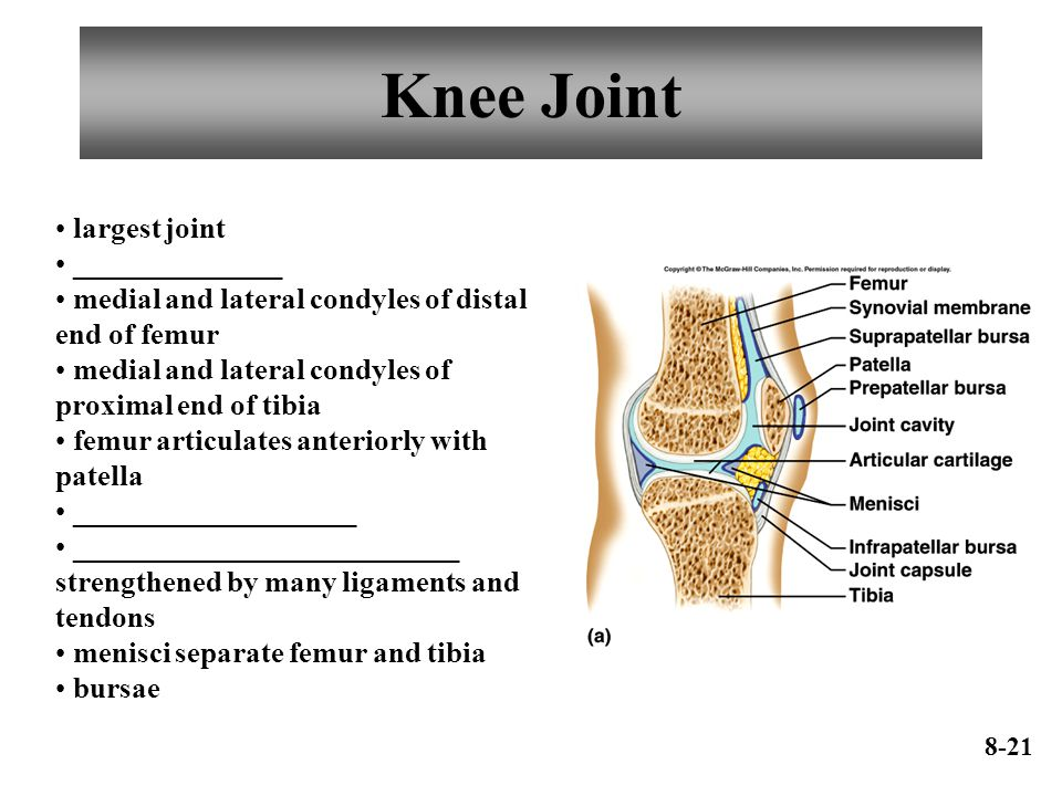 Knee Joint largest joint ______________ medial and lateral condyles of distal end of femur medial and lateral condyles of proximal end of tibia femur