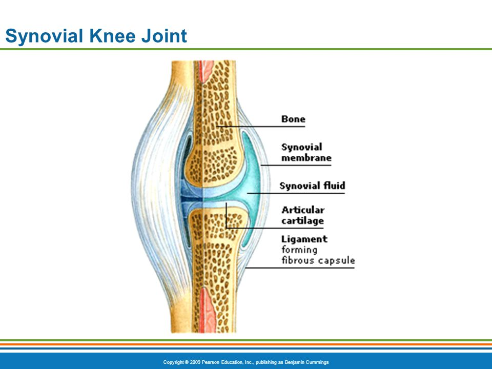 Copyright © 2009 Pearson Education, Inc., publishing as Benjamin Cummings Synovial Knee Joint