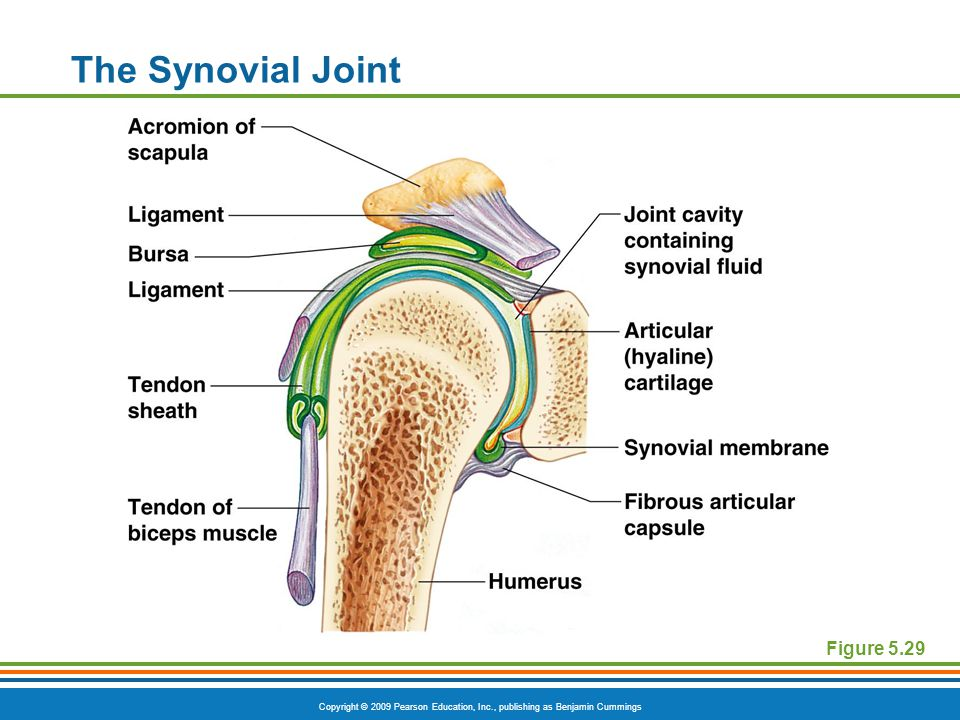 Copyright © 2009 Pearson Education, Inc., publishing as Benjamin Cummings The Synovial Joint Figure 5.29
