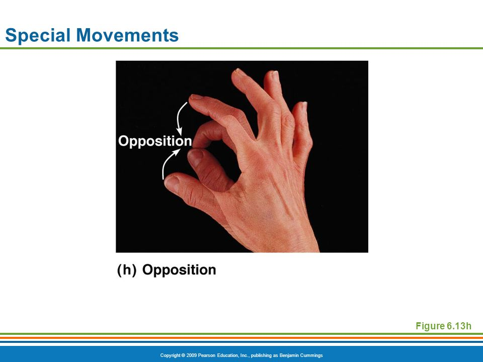 Copyright © 2009 Pearson Education, Inc., publishing as Benjamin Cummings Special Movements Figure 6.13h