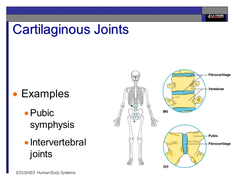 EDU2HBS Human Body Systems 20 Cartilaginous Joints Slide 5.47  Examples  Pubic symphysis  Intervertebral joints