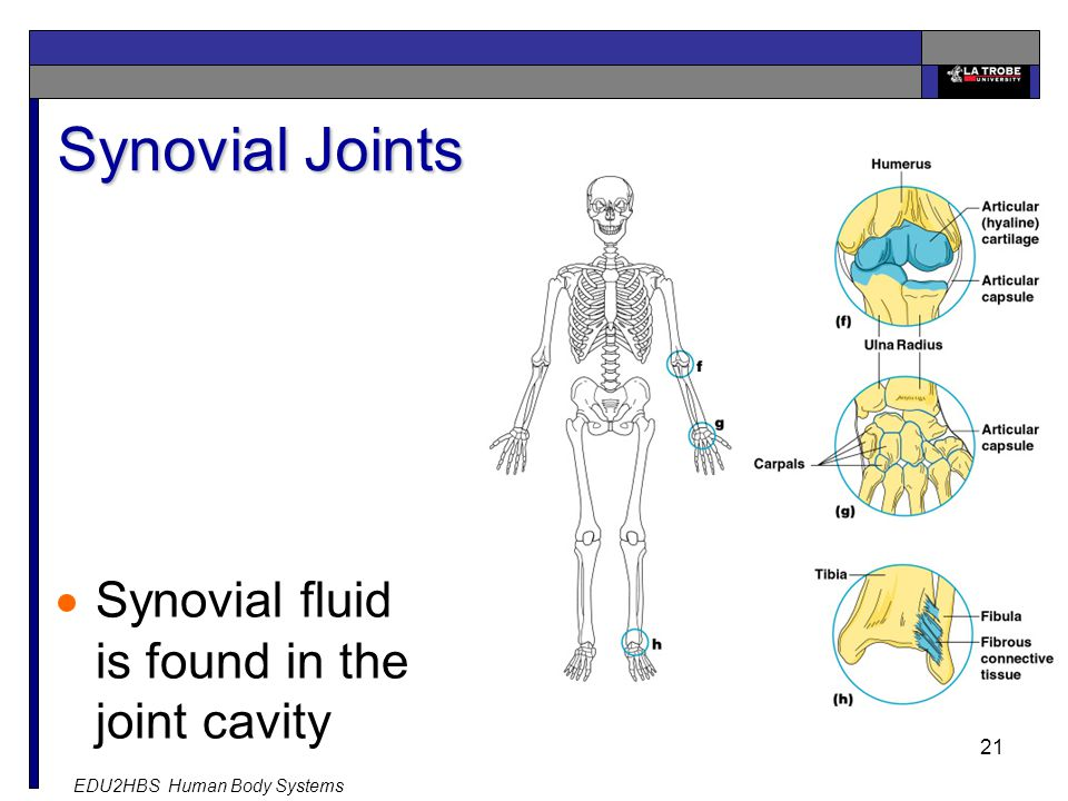 EDU2HBS Human Body Systems 21 Synovial Joints  Synovial fluid is found in the joint cavity
