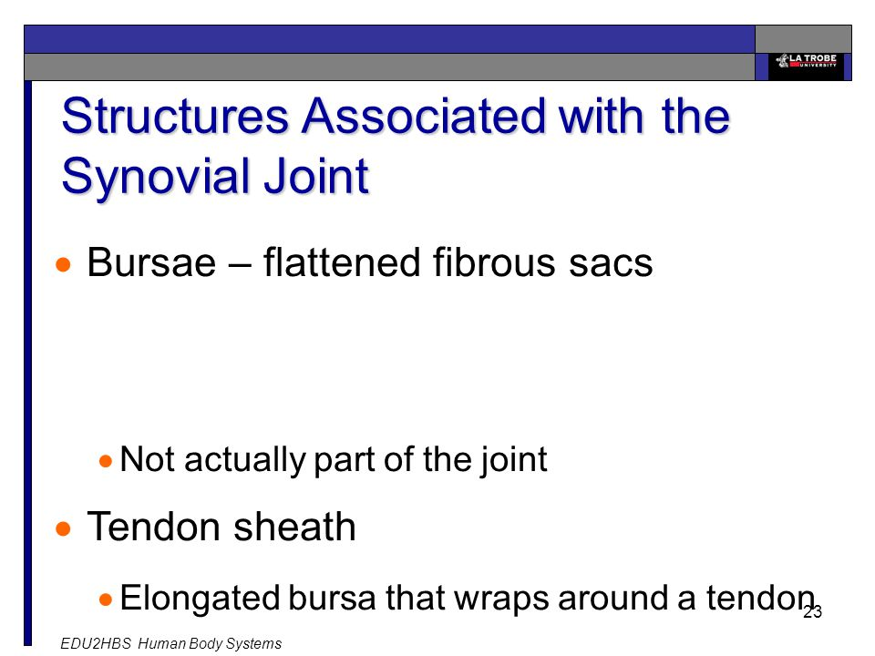 EDU2HBS Human Body Systems 23 Structures Associated with the Synovial Joint  Bursae – flattened fibrous sacs  Not actually part of the joint  Tendon sheath  Elongated bursa that wraps around a tendon