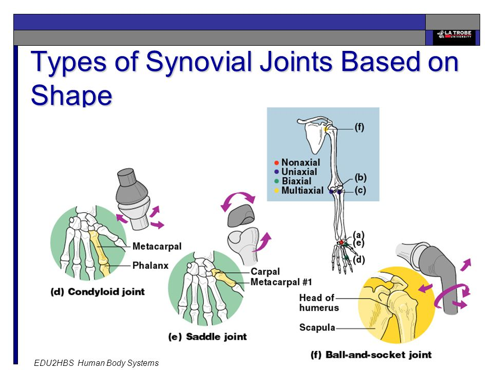 EDU2HBS Human Body Systems 26 Types of Synovial Joints Based on Shape