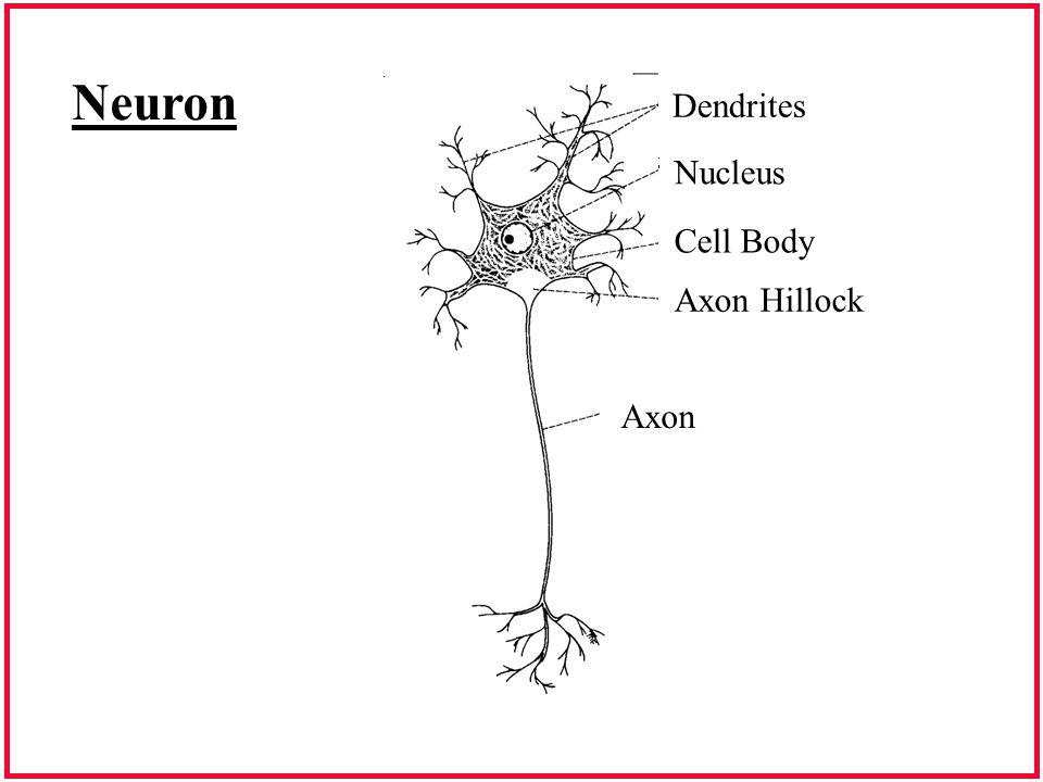 Nerve Cell Dendrites Nucleus Cell Body Axon Hillock Axon Neuron