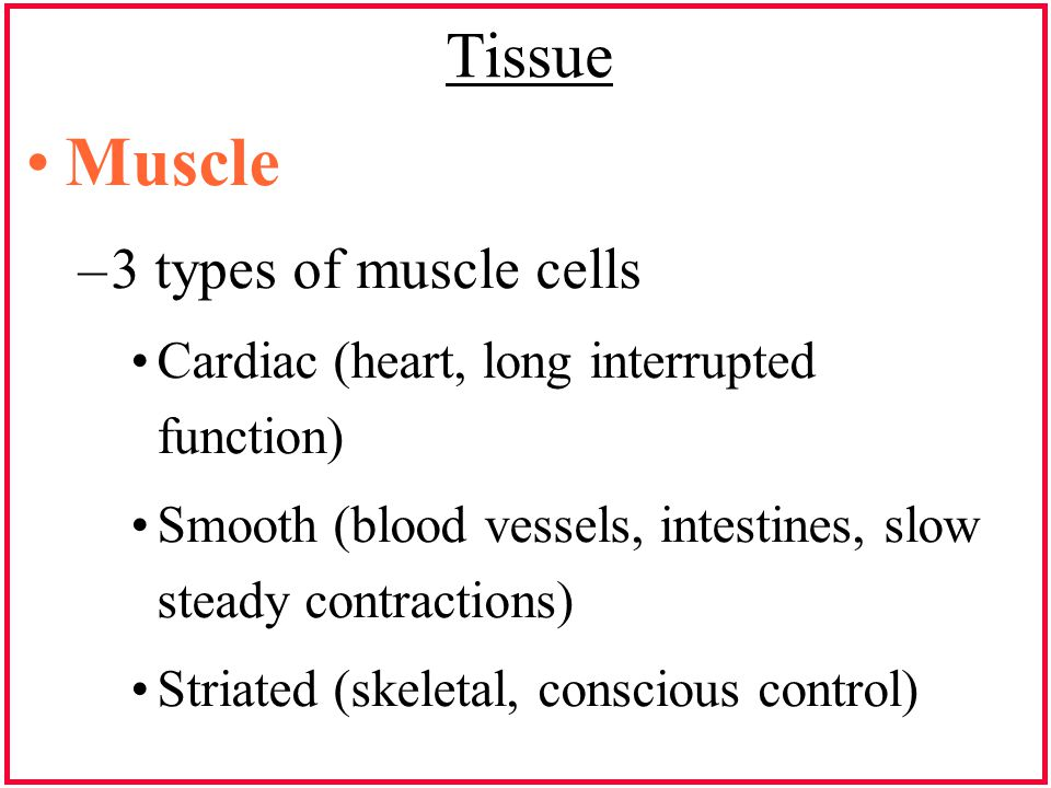 Tissue Muscle –3 types of muscle cells Cardiac (heart, long interrupted function) Smooth (blood vessels, intestines, slow steady contractions) Striate