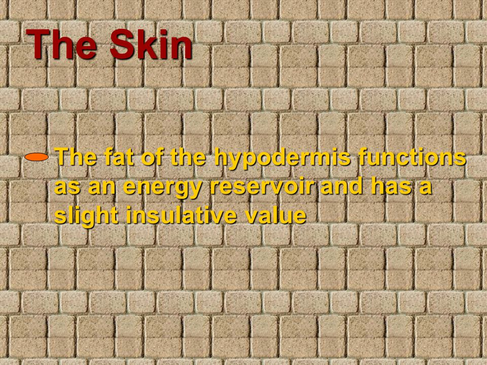 The Skin The fat of the hypodermis functions as an energy reservoir and has a slight insulative value