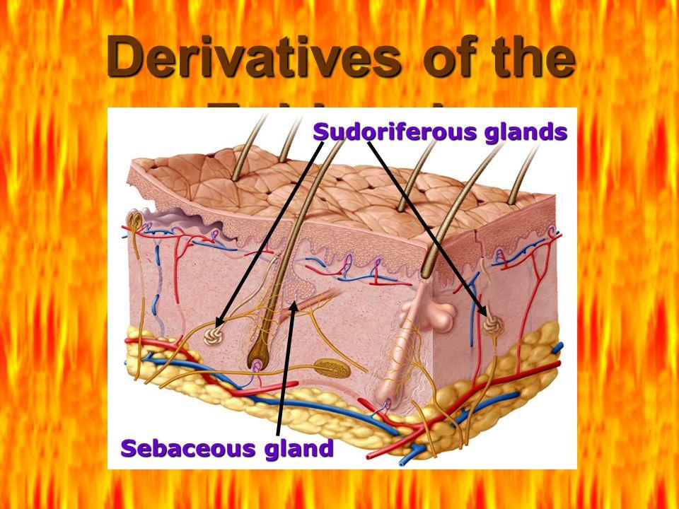 Derivatives of the Epidermis Sebaceous gland Sudoriferous glands