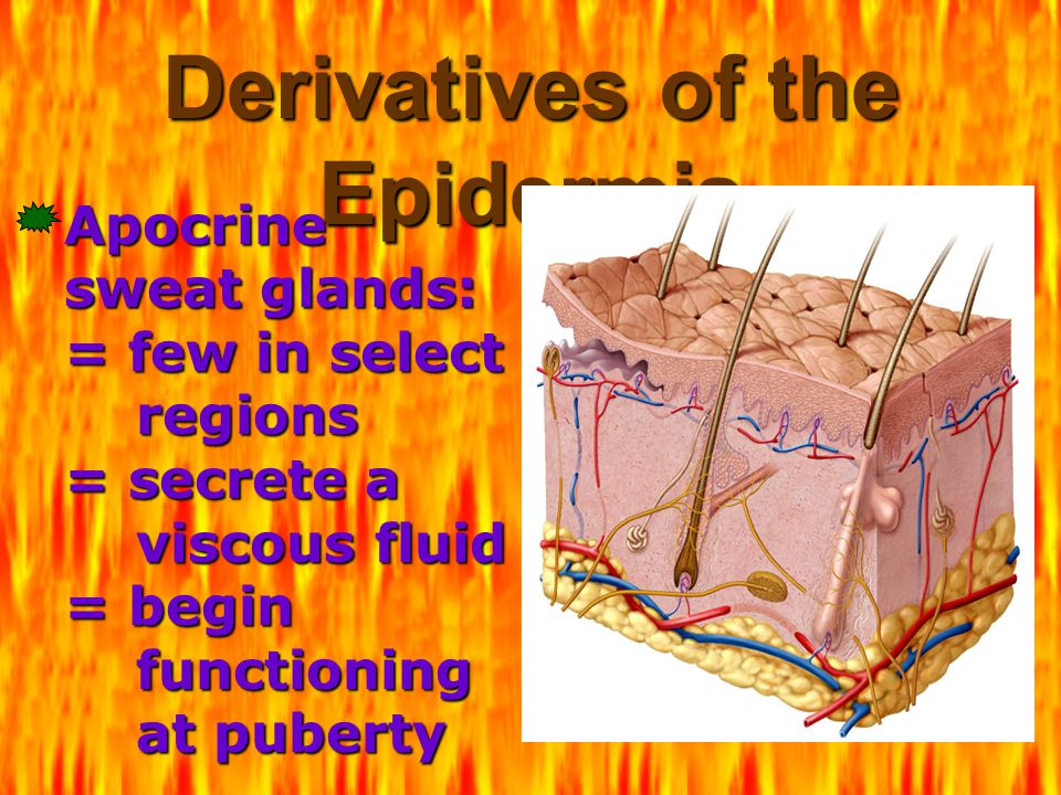 Derivatives of the Epidermis Apocrine sweat glands: = few in select regions = secrete a viscous fluid = begin functioning at puberty