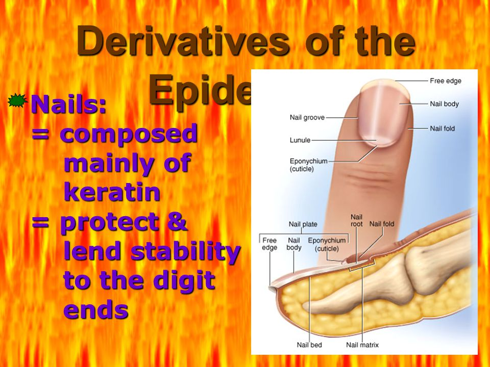 Derivatives of the Epidermis Nails: = composed mainly of keratin = protect & lend stability to the digit ends