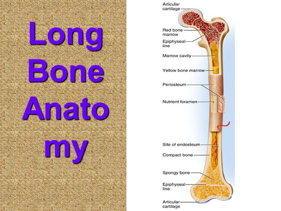 Long Bone Anato my