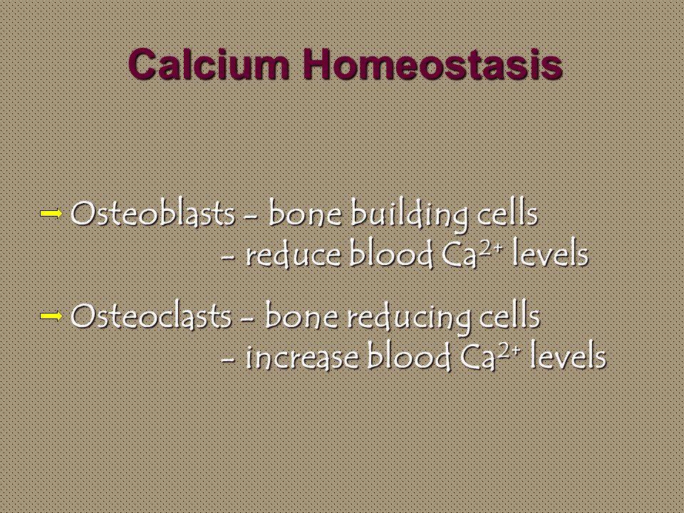 Calcium Homeostasis Osteoblasts - bone building cells - reduce blood Ca 2+ Ca 2+ levels Osteoclasts - bone reducing cells - increase blood levels