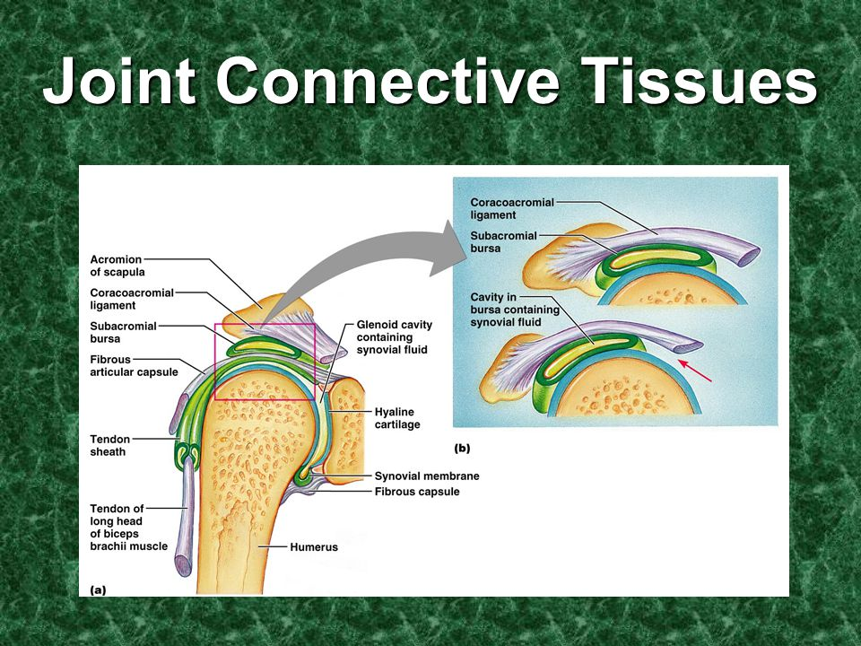 Joint Connective Tissues