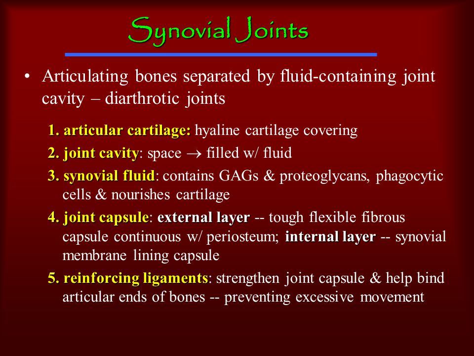 Synovial Joints Articulating bones separated by fluid-containing joint cavity – diarthrotic joints 1.