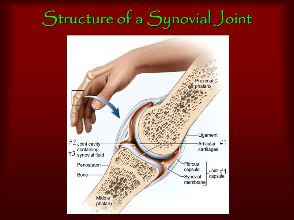 Supporting Structures of Synovial Joints Menisci (articular discs)Menisci (articular discs): fibrocartilage b/t articular surfaces -- help cushion & increase stability BursaeBursae: fibrous sacs containing synovial fluid & act as 'ball bearings' preventing friction
