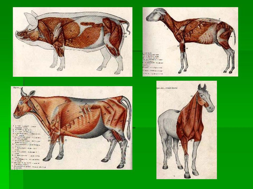 MUSCLE IDENTIFICATION, according to : - Muscle Name - Form and their position - Origo and Insertio - Characteristic Movement - Structure - Connection of the muscle with surrounding area - Vascularisation and Innervation MIOLOGI