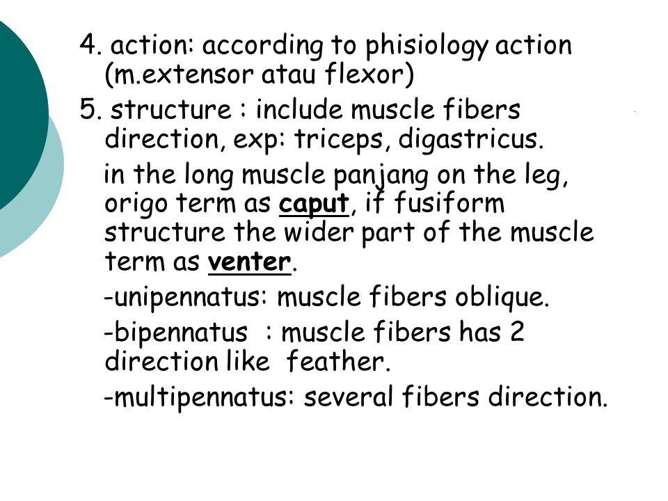 MUSCLE DISCRIPTON ACCORDING TO: 1.