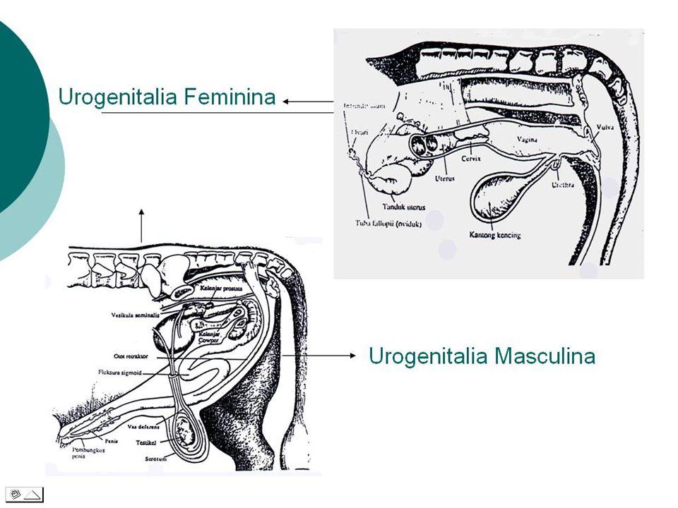 TRACTUS URO-GENITALIA  Sistema Uropoetica: Ren, Ureter, Vesica Urinaria,Urethra  Sistema Genitalia: 1.