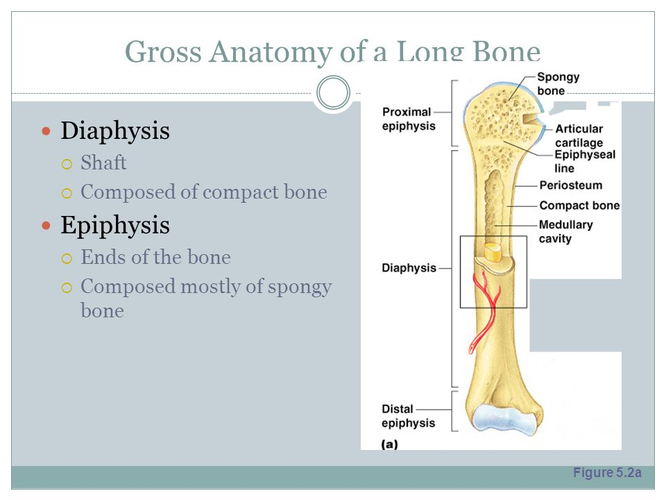 Gross Anatomy of a Long Bone Diaphysis  Shaft  Composed of compact bone Epiphysis  Ends of the bone  Composed mostly of spongy bone Figure 5.2a
