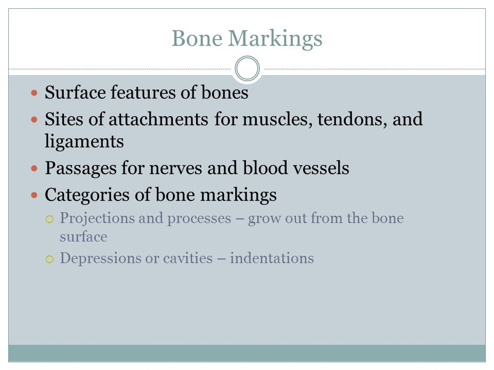 Bone Markings Surface features of bones Sites of attachments for muscles, tendons, and ligaments Passages for nerves and blood vessels Categories of bone markings  Projections and processes – grow out from the bone surface  Depressions or cavities – indentations