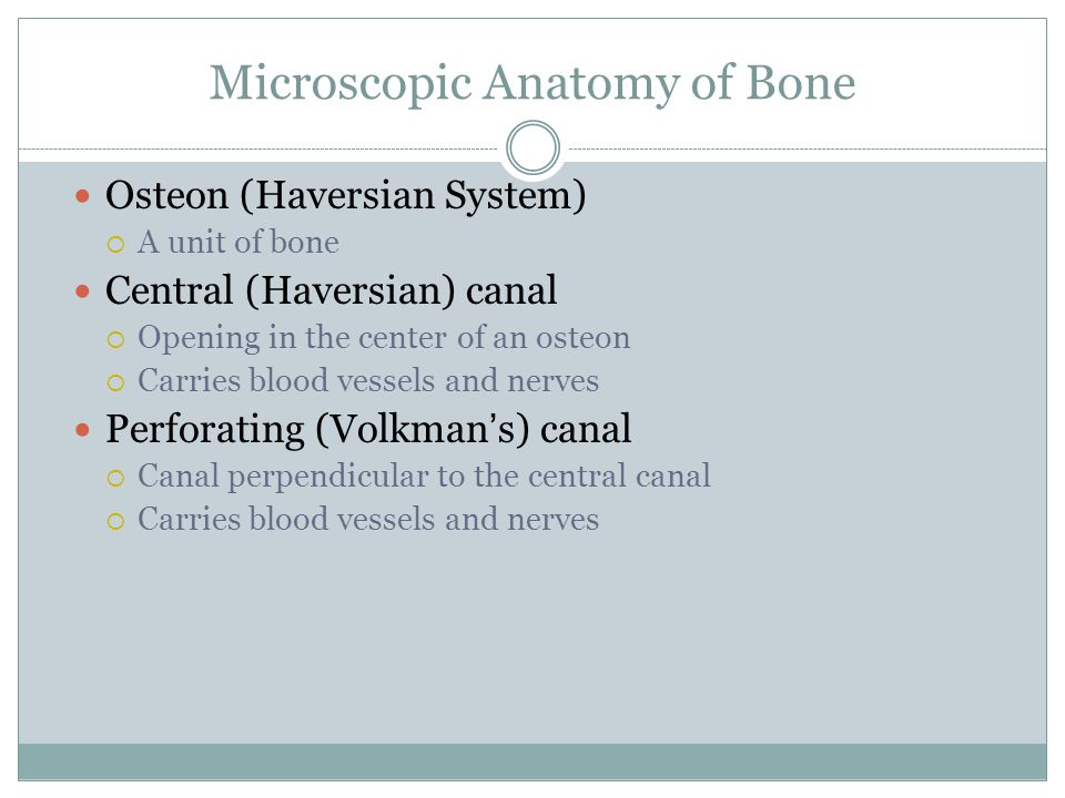 Microscopic Anatomy of Bone Osteon (Haversian System)  A unit of bone Central (Haversian) canal  Opening in the center of an osteon  Carries blood vessels and nerves Perforating (Volkman's) canal  Canal perpendicular to the central canal  Carries blood vessels and nerves