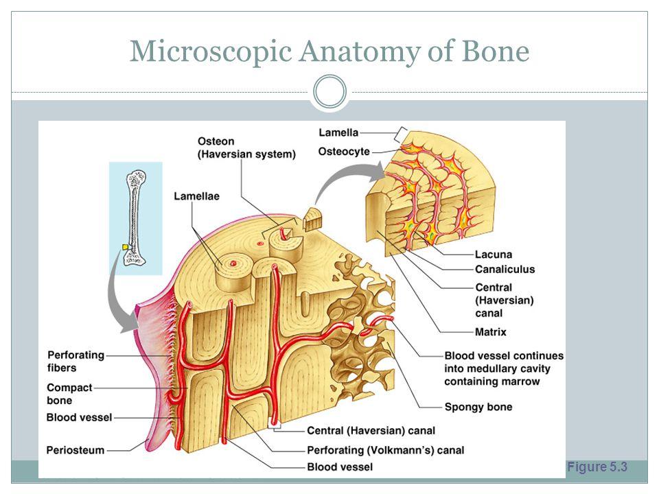 Microscopic Anatomy of Bone Figure 5.3