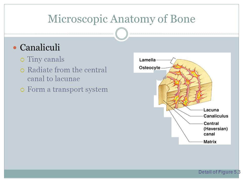 Microscopic Anatomy of Bone Canaliculi  Tiny canals  Radiate from the central canal to lacunae  Form a transport system Detail of Figure 5.3