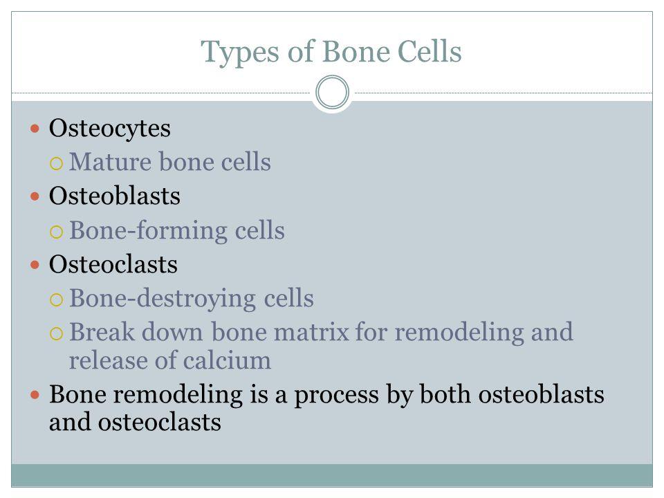 Types of Bone Cells Osteocytes  Mature bone cells Osteoblasts  Bone-forming cells Osteoclasts  Bone-destroying cells  Break down bone matrix for r