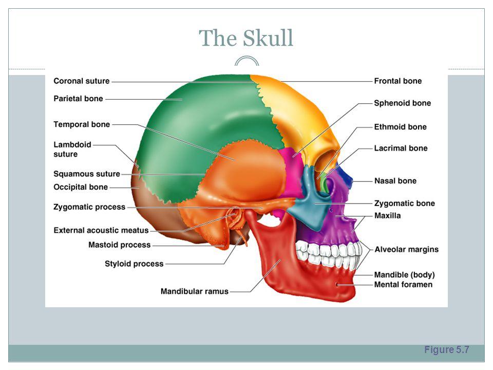 The Skull Figure 5.7
