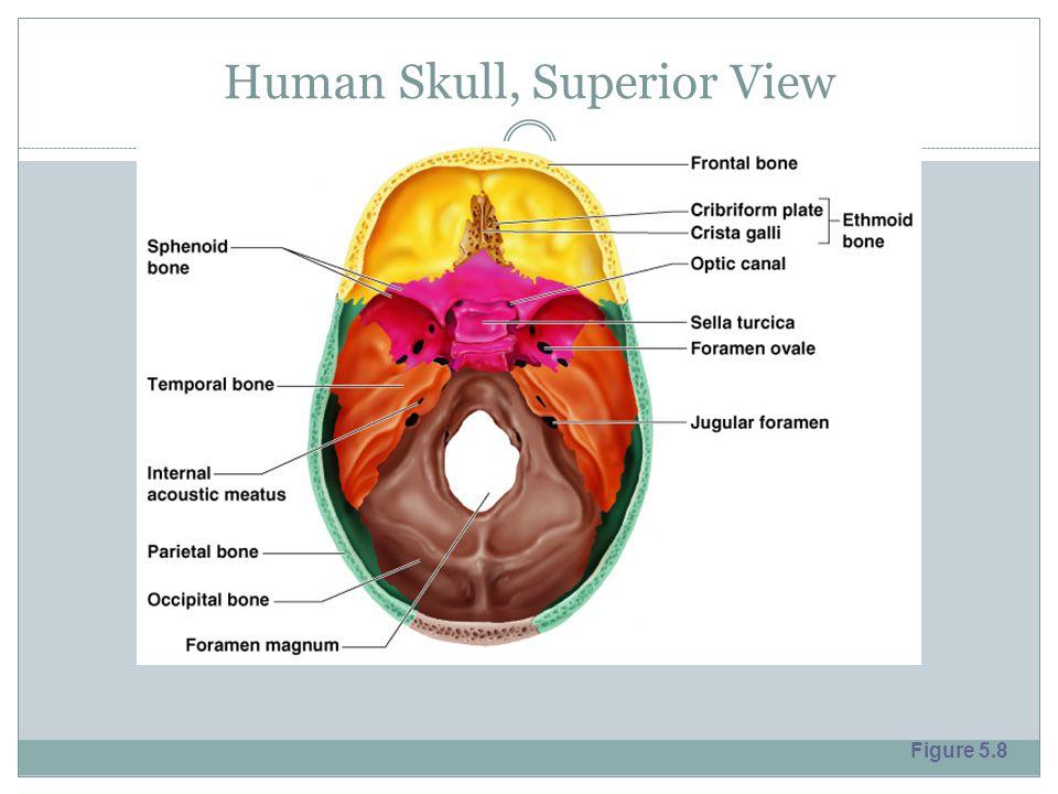 Human Skull, Superior View Figure 5.8