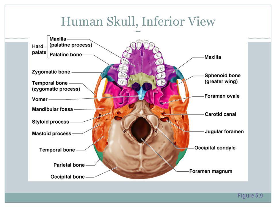 Human Skull, Inferior View Figure 5.9