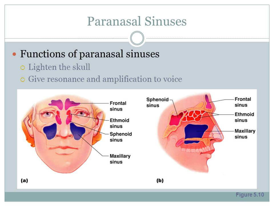 Paranasal Sinuses Functions of paranasal sinuses  Lighten the skull  Give resonance and amplification to voice Figure 5.10