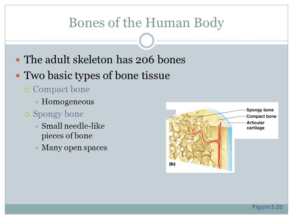 Bones of the Human Body The adult skeleton has 206 bones Two basic types of bone tissue  Compact bone  Homogeneous  Spongy bone  Small needle-like