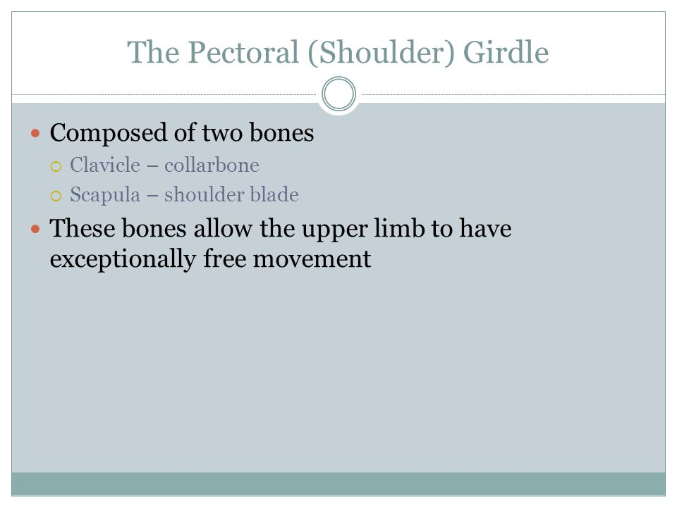 The Pectoral (Shoulder) Girdle Composed of two bones  Clavicle – collarbone  Scapula – shoulder blade These bones allow the upper limb to have excep