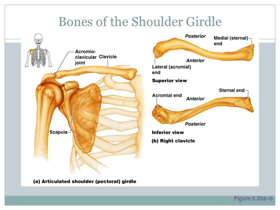 Bones of the Shoulder Girdle Figure 5.20a–b