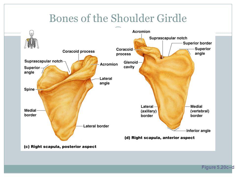 Bones of the Shoulder Girdle Figure 5.20c–d