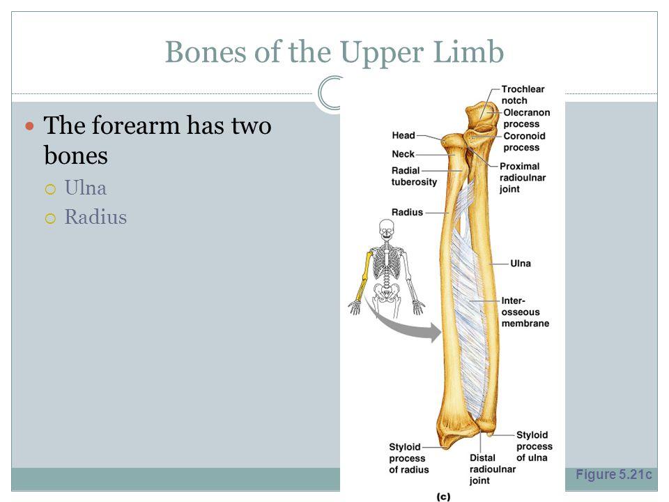 Bones of the Upper Limb The forearm has two bones  Ulna  Radius Figure 5.21c